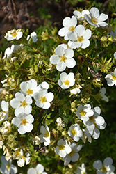 McKay's White Potentilla (Potentilla fruticosa 'McKay's White') at Cole's Florist & Garden Centre