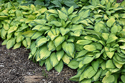Paul's Glory Hosta (Hosta 'Paul's Glory') at Cole's Florist & Garden Centre
