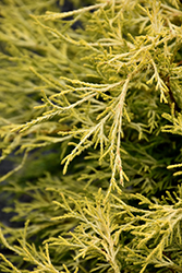 Golden Charm Falsecypress (Chamaecyparis pisifera 'Golden Charm') at Cole's Florist & Garden Centre