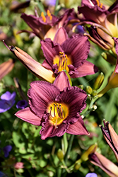 Purple de Oro Daylily (Hemerocallis 'Purple de Oro') at Cole's Florist & Garden Centre