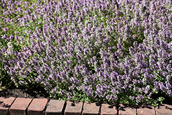 Common Thyme (Thymus vulgaris) at Cole's Florist & Garden Centre