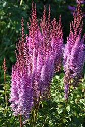 Superba Chinese Astilbe (Astilbe chinensis 'Superba') at Cole's Florist & Garden Centre