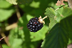 Jewel Black Raspberry (Rubus occidentalis 'Jewel') at Cole's Florist & Garden Centre