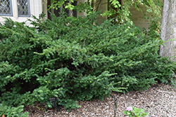Ward's Yew (Taxus x media 'Wardii') at Cole's Florist & Garden Centre