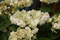 Wedding Gown Hydrangea (Hydrangea macrophylla 'Wedding Gown') at Cole's Florist & Garden Centre