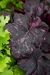 Midnight Rose Coral Bells (Heuchera 'Midnight Rose') at Cole's Florist & Garden Centre