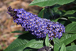 Pugster® Blue Butterfly Bush (Buddleia 'SMNBDBT') at Cole's Florist & Garden Centre