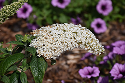 Pugster® White Butterfly Bush (Buddleia 'SMNBDW') at Cole's Florist & Garden Centre