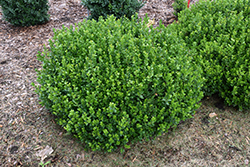 Sprinter® Boxwood (Buxus microphylla 'Bulthouse') at Cole's Florist & Garden Centre