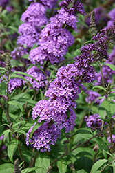 Peacock™ Butterfly Bush (Buddleia davidii 'Peakeep') at Cole's Florist & Garden Centre
