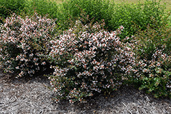 Ruby Anniversary™ Abelia (Abelia chinensis 'Keiser') at Cole's Florist & Garden Centre