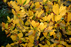 Vanilla Spice® Summersweet (Clethra alnifolia 'Caleb') at Cole's Florist & Garden Centre
