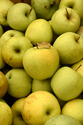 Golden Delicious Apple (Malus 'Golden Delicious') at Cole's Florist & Garden Centre