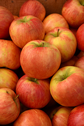 Honeycrisp Apple (Malus 'Honeycrisp') at Cole's Florist & Garden Centre