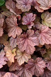 Carnival Watermelon Coral Bells (Heuchera 'Watermelon') at Cole's Florist & Garden Centre