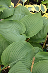 Empress Wu Hosta (Hosta 'Empress Wu') at Cole's Florist & Garden Centre