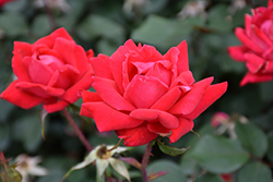 Double Knock Out® Rose (Rosa 'Radtko') at Cole's Florist & Garden Centre
