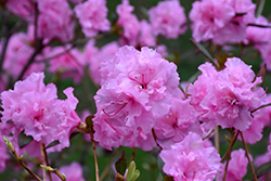 Weston's Pink Diamond Rhododendron (Rhododendron 'Weston's Pink Diamond') at Cole's Florist & Garden Centre