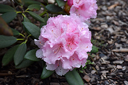 Ingrid Melquist Rhododendron (Rhododendron 'Ingrid Melquist') at Cole's Florist & Garden Centre
