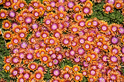 Fire Spinner Ice Plant (Delosperma 'Fire Spinner') at Cole's Florist & Garden Centre