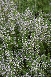 Doone Valley Thyme (Thymus 'Doone Valley') at Cole's Florist & Garden Centre