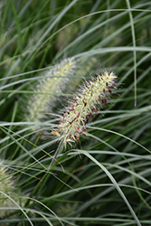 Little Bunny Dwarf Fountain Grass (Pennisetum alopecuroides 'Little Bunny') at Cole's Florist & Garden Centre