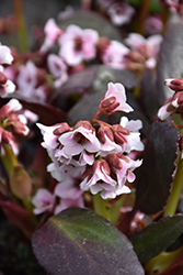 Dragonfly™ Angel Kiss Bergenia (Bergenia 'Angel Kiss') at Cole's Florist & Garden Centre