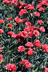Early Bird™ Chili Pinks (Dianthus 'Wp10 Sab06') at Cole's Florist & Garden Centre