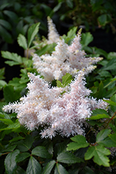Sugarberry Astilbe (Astilbe 'Sugarberry') at Cole's Florist & Garden Centre